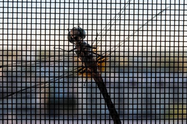 Dragonfly 2 DSC_8377