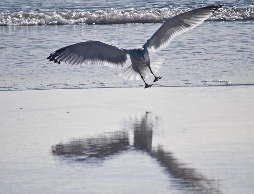 Gull glide 22 DSC_0066 a