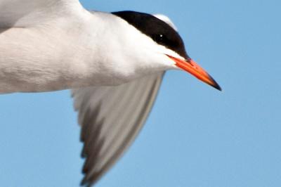 Tern closeupDSC_0016 crp 2