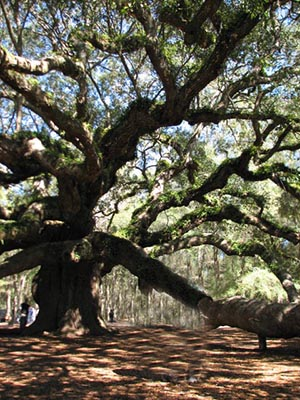 Angel oak vertIMG_0135