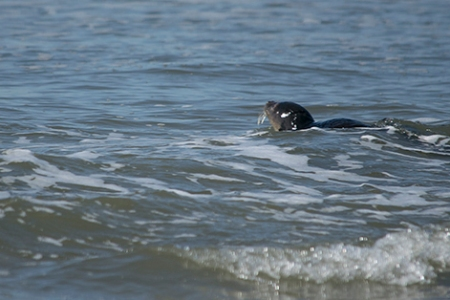 Seal pup at sea crpDSC_9727