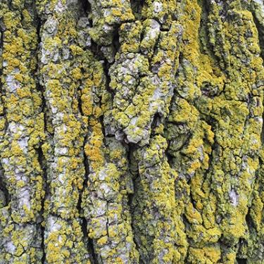 White oak mossIMG_1732