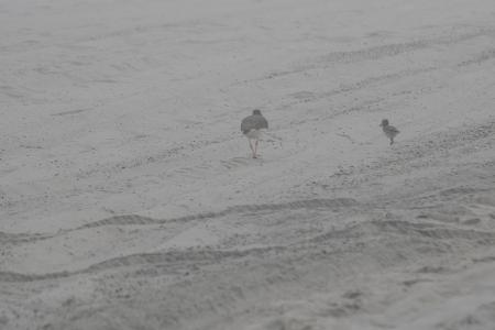oystercatchers in fog DSC_1723