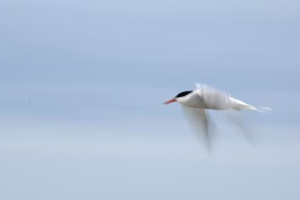 Tern slow shutter  DSC_4278