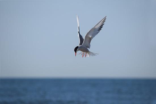 Lone tern DSC_5248