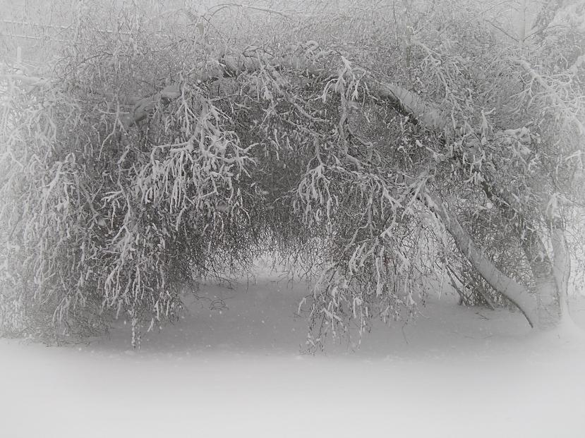 Snow treeIMGP5003.jpg