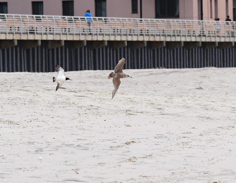 gull chase DSC_7567.jpg