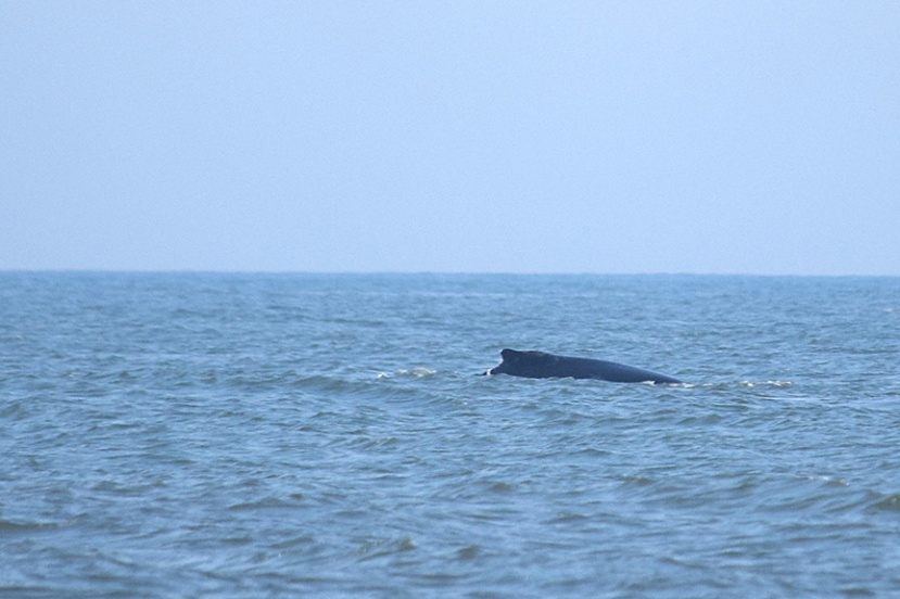 Whale off Long BeachDSC_9311.jpg