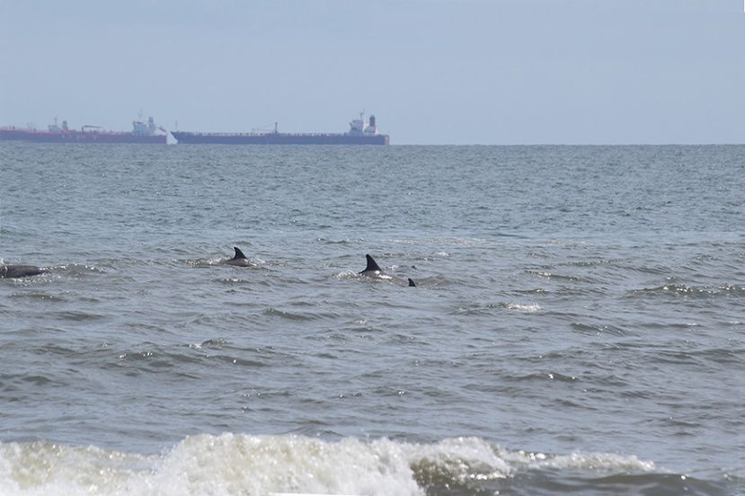 A pod of Dolphins and ships DSC_9107.jpg