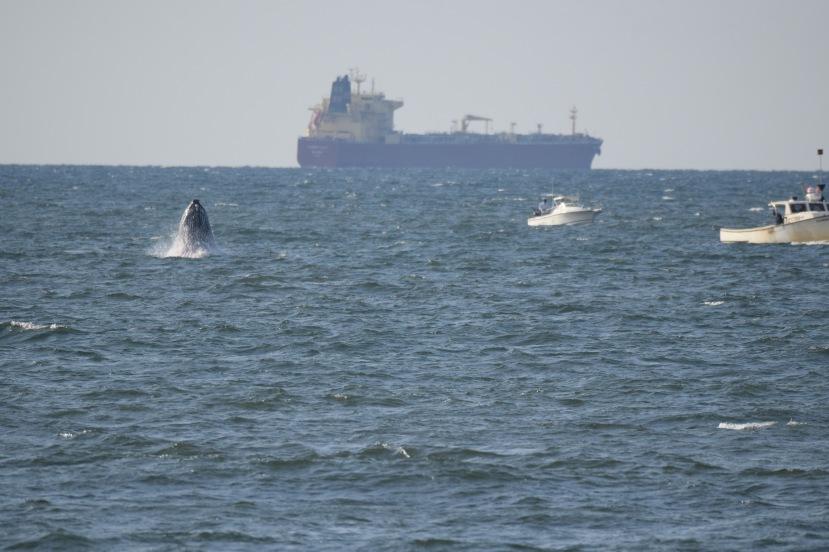 Whale breaching DSC_3215.jpg