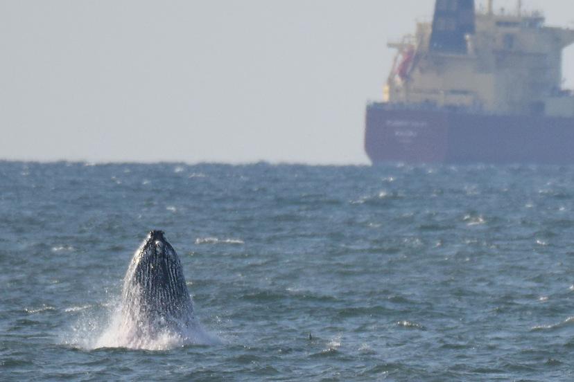 Whale breaching Lincoln 8x12  DSC_3215.jpg