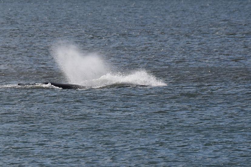 whale splash DSC_3337.jpg