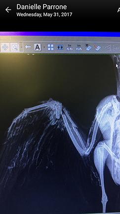 OC broken wing bone.jpg