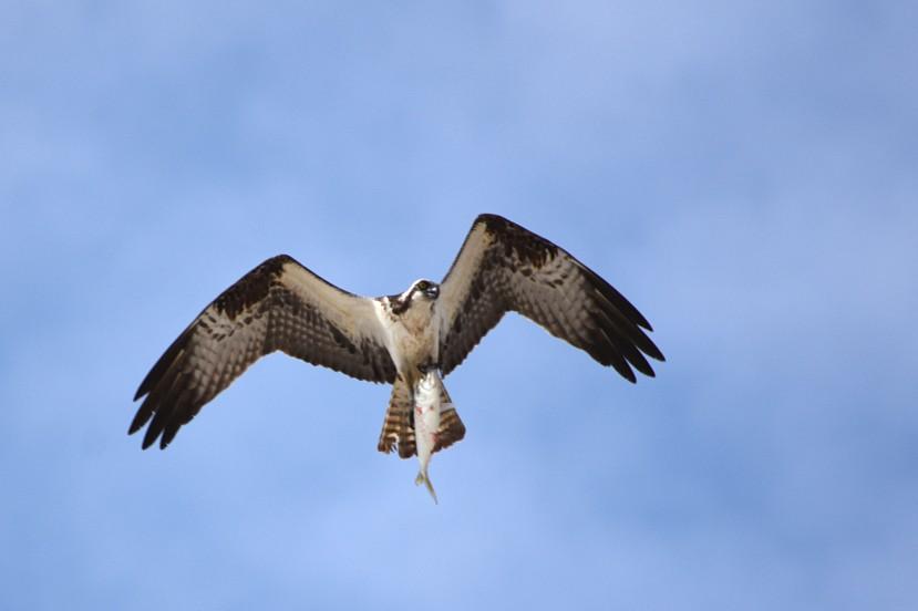 osprey in spring DSC_2953.jpg