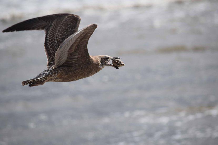 Gull w clam DSC_1514.jpg