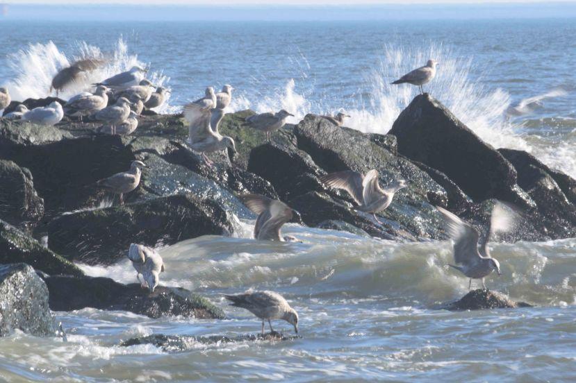 Gulls feed DSC_6569.jpg