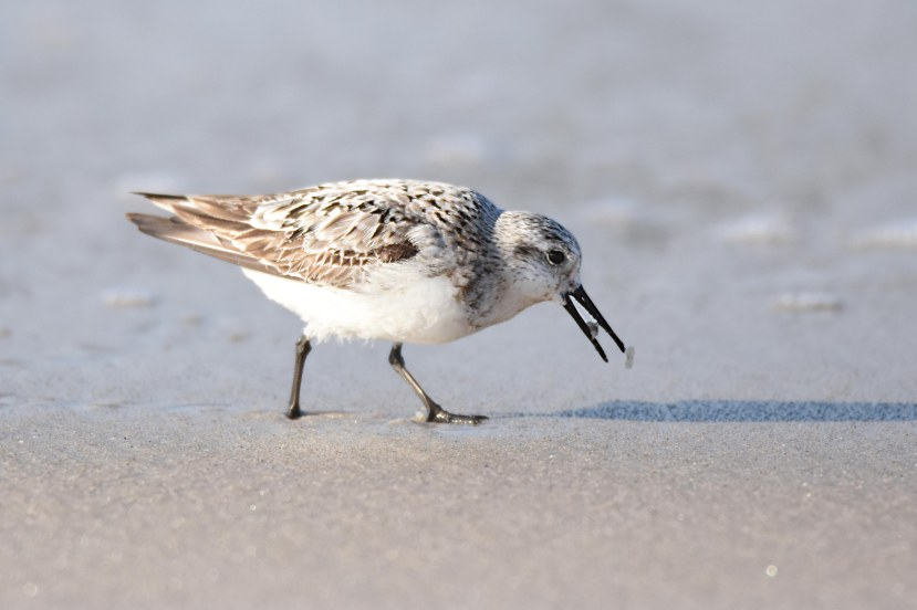 sanderling eats DSC_1232.jpg