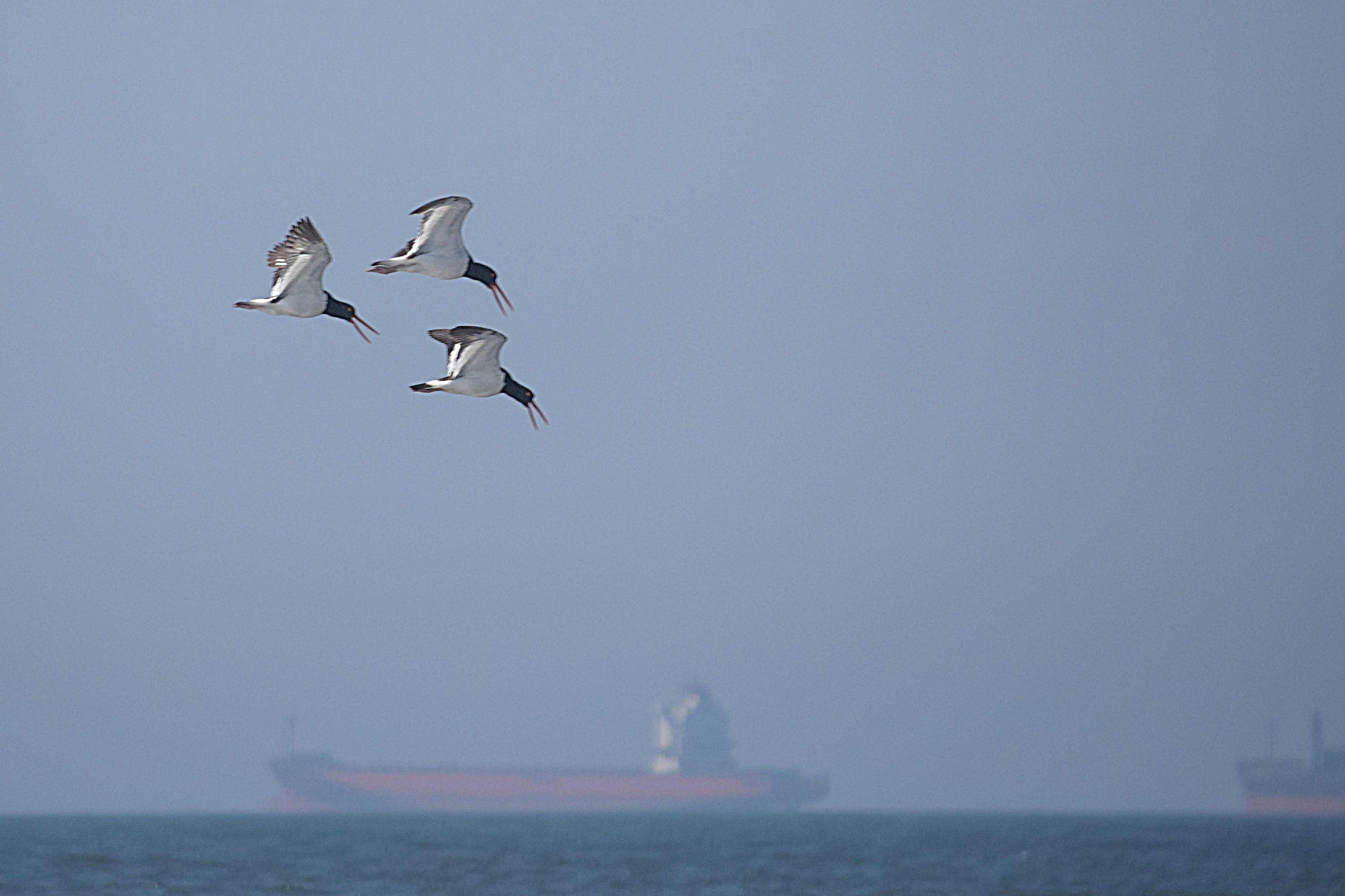 three terns DSC_8965.jpg